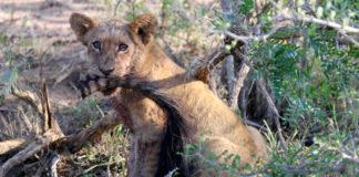 Safari in Sudafrica - Kruger National Park