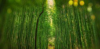 Foresta Bambù