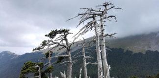 l'albero più vecchio d'europa
